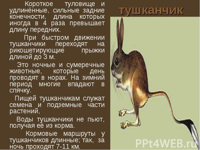 тушканчик Короткое туловище и удлинённые, сильные задние конечности, длина которых иногда в 4 раза превышает длину передних. При быстром движении тушканчики переходят на рикошетирующие прыжки длиной до 3 м. Это ночные и сумеречные животные, которые …