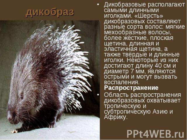 дикобраз Дикобразовые располагают самыми длинными иголками. «Шерсть» дикобразовых составляют разные сорта волос: мягкие мехообразные волосы, более жёсткие, плоская щетина, длинная и эластичная щетина, а также твёрдые и длинные иголки. Некоторые из н…