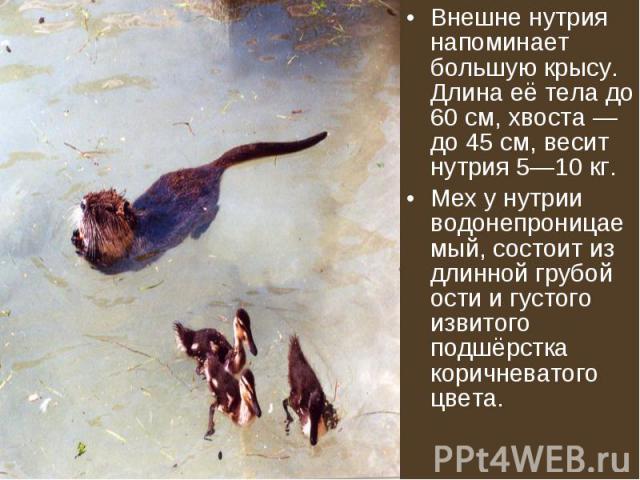 Внешне нутрия напоминает большую крысу. Длина её тела до 60 см, хвоста — до 45 см, весит нутрия 5—10 кг. Внешне нутрия напоминает большую крысу. Длина её тела до 60 см, хвоста — до 45 см, весит нутрия 5—10 кг. Мех у нутрии водонепроницаемый, состоит…