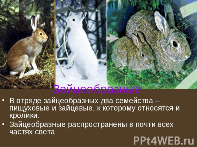 Зайцеобразные В отряде зайцеобразных два семейства – пищуховые и зайцевые, к которому относятся и кролики. Зайцеобразные распространены в почти всех частях света.