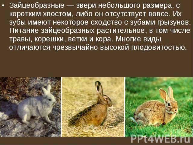 Зайцеобразные— звери небольшого размера, с коротким хвостом, либо он отсутствует вовсе. Их зубы имеют некоторое сходство с зубами грызунов. Питание зайцеобразных растительное, в том числе травы, корешки, ветки и кора. Многие виды отличаются чр…
