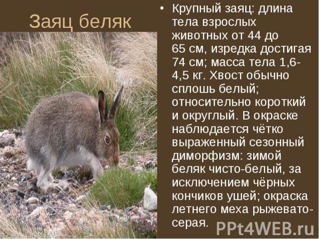 Крупный заяц: длина тела взрослых животных от 44 до 65см, изредка достигая 74см; масса тела 1,6-4,5кг. Хвост обычно сплошь белый; относительно короткий и округлый. В окраске наблюдается чётко выраженный сезонный диморфизм: зимой бе…