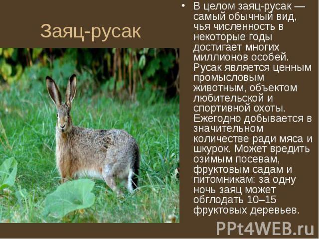В целом заяц-русак — самый обычный вид, чья численность в некоторые годы достигает многих миллионов особей. Русак является ценным промысловым животным, объектом любительской и спортивной охоты. Ежегодно добывается в значительном количестве ради мяса…