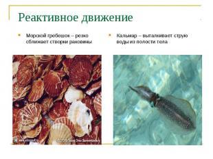 Морской гребешок – резко сближает створки раковины Морской гребешок – резко сбли