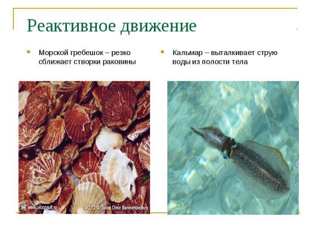Морской гребешок – резко сближает створки раковины Морской гребешок – резко сближает створки раковины