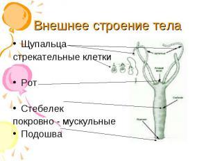 Щупальца Щупальца стрекательные клетки Рот Стебелек покровно - мускульные Подошв