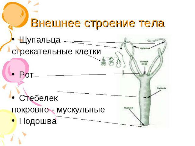 Щупальца Щупальца стрекательные клетки Рот Стебелек покровно - мускульные Подошва