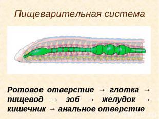 Ротовое отверстие → глотка → пищевод → зоб → желудок → кишечник → анальное отвер