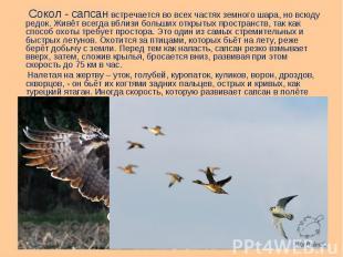 Сокол - сапсан встречается во всех частях земного шара, но всюду редок. Живёт вс