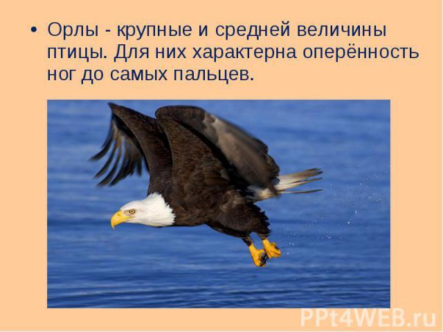 Орлы - крупные и средней величины птицы. Для них характерна оперённость ног до самых пальцев. Орлы - крупные и средней величины птицы. Для них характерна оперённость ног до самых пальцев.