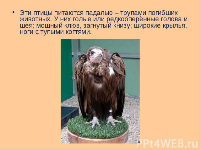 Эти птицы питаются падалью – трупами погибших животных. У них голые или редкооперённые голова и шея; мощный клюв, загнутый книзу; широкие крылья, ноги с тупыми когтями. Эти птицы питаются падалью – трупами погибших животных. У них голые или редкоопе…