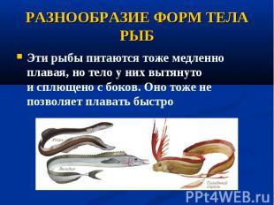 Эти рыбы питаются тоже медленно плавая, но тело у них вытянуто исплющено с