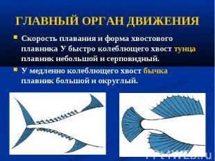 Скорость плавания и форма хвостового плавника У быстро колеблющего хвост тунца п