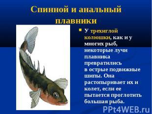 У трехиглой колюшки, как и у многих рыб, некоторые лучи плавника превратились в&
