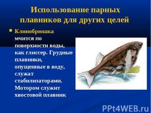 Клинобрюшка мчится по поверхности воды, как глиссер. Грудные плавники, опущенные