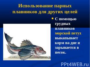 С помощью грудных плавников морской петух выкапывает корм на дне и зарывается в