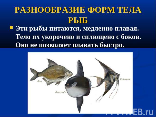 Эти рыбы питаются, медленно плавая. Тело их укорочено исплющено сбоков. Оно не позволяет плавать быстро. Эти рыбы питаются, медленно плавая. Тело их укорочено исплющено сбоков. Оно не позволяет плавать быстро.