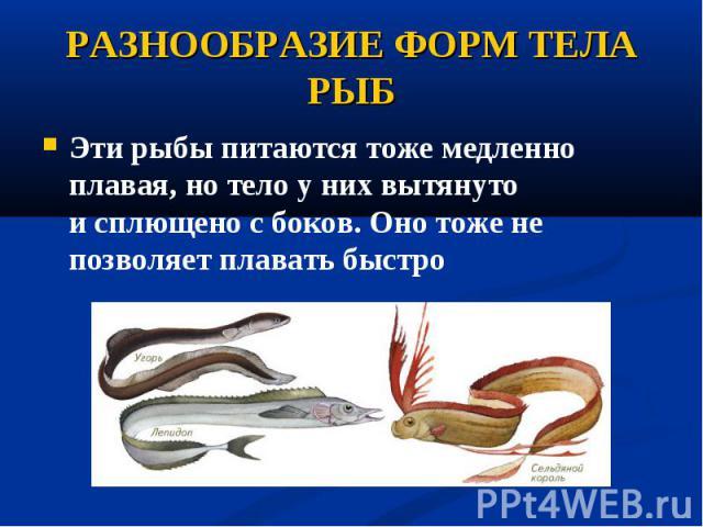 Эти рыбы питаются тоже медленно плавая, но тело у них вытянуто исплющено с боков. Оно тоже не позволяет плавать быстро Эти рыбы питаются тоже медленно плавая, но тело у них вытянуто исплющено с боков. Оно тоже не позволяет плавать быстро