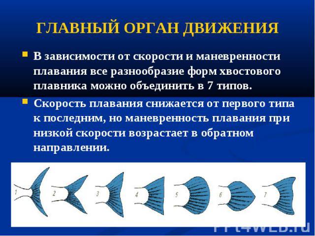 В зависимости от скорости и маневренности плавания все разнообразие форм хвостового плавника можно объединить в 7 типов. В зависимости от скорости и маневренности плавания все разнообразие форм хвостового плавника можно объединить в 7 типов. Скорост…