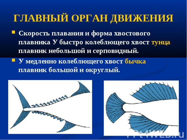Скорость плавания и форма хвостового плавника У быстро колеблющего хвост тунца плавник небольшой и серповидный. Скорость плавания и форма хвостового плавника У быстро колеблющего хвост тунца плавник небольшой и серповидный. У медленно колеблющего хв…
