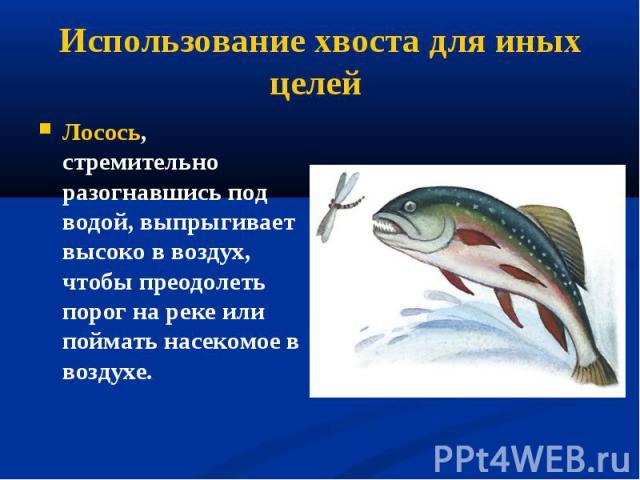 Лосось, стремительно разогнавшись под водой, выпрыгивает высоко в воздух, чтобы преодолеть порог на реке или поймать насекомое в воздухе. Лосось, стремительно разогнавшись под водой, выпрыгивает высоко в воздух, чтобы преодолеть порог на реке или по…