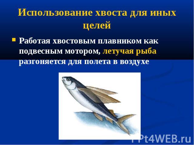 Работая хвостовым плавником как подвесным мотором, летучая рыба разгоняется для полета в воздухе Работая хвостовым плавником как подвесным мотором, летучая рыба разгоняется для полета в воздухе