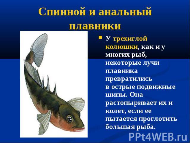 У трехиглой колюшки, как и у многих рыб, некоторые лучи плавника превратились вострые подвижные шипы. Она растопыривает их и колет, если ее пытается проглотить большая рыба. У трехиглой колюшки, как и у многих рыб, некоторые лучи плавника прев…