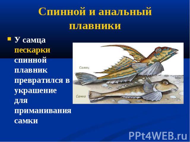 У самца пескарки спинной плавник превратился в украшение для приманивания самки У самца пескарки спинной плавник превратился в украшение для приманивания самки