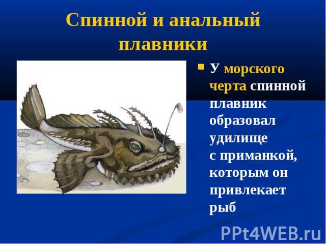 У морского черта спинной плавник образовал удилище сприманкой, которым он привлекает рыб У морского черта спинной плавник образовал удилище сприманкой, которым он привлекает рыб