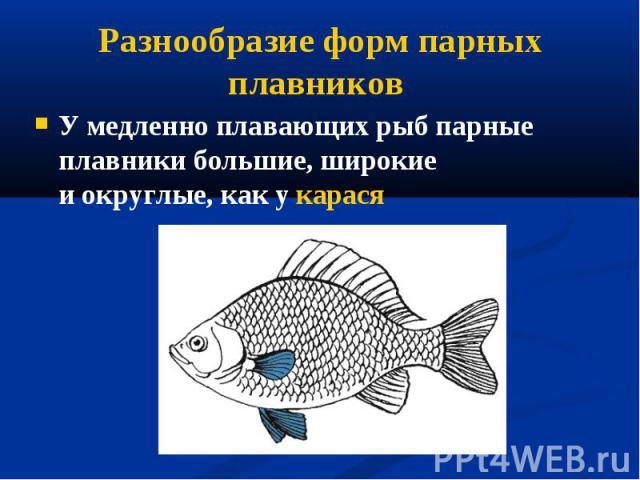 У медленно плавающих рыб парные плавники большие, широкие иокруглые, как у карася У медленно плавающих рыб парные плавники большие, широкие иокруглые, как у карася