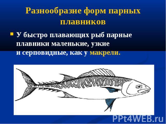 У быстро плавающих рыб парные плавники маленькие, узкие исерповидные, как у макрели. У быстро плавающих рыб парные плавники маленькие, узкие исерповидные, как у макрели.