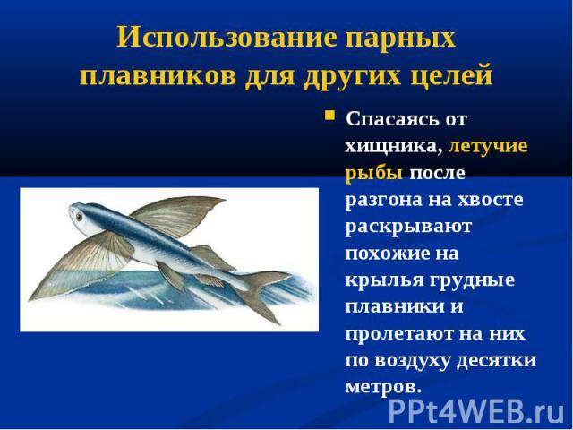 Спасаясь от хищника, летучие рыбы после разгона на хвосте раскрывают похожие на крылья грудные плавники и пролетают наних по воздуху десятки метров. Спасаясь от хищника, летучие рыбы после разгона на хвосте раскрывают похожие на крылья грудные…