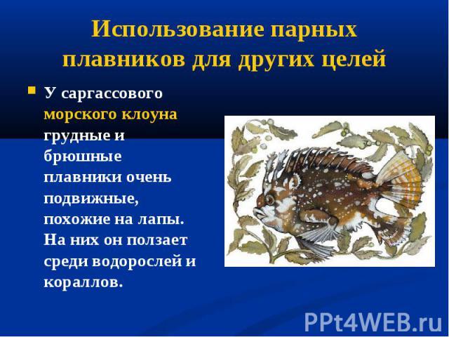 У саргассового морского клоуна грудные и брюшные плавники очень подвижные, похожие на лапы. На них он ползает среди водорослей и кораллов. У саргассового морского клоуна грудные и брюшные плавники очень подвижные, похожие на лапы. На них он ползает …