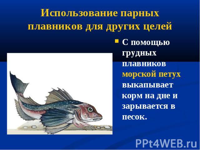 С помощью грудных плавников морской петух выкапывает корм на дне и зарывается в песок. С помощью грудных плавников морской петух выкапывает корм на дне и зарывается в песок.