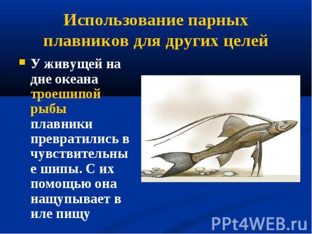 У живущей на дне океана троешипой рыбы плавники превратились в чувствительные шипы. С их помощью она нащупывает в иле пищу У живущей на дне океана троешипой рыбы плавники превратились в чувствительные шипы. С их помощью она нащупывает в иле пищу