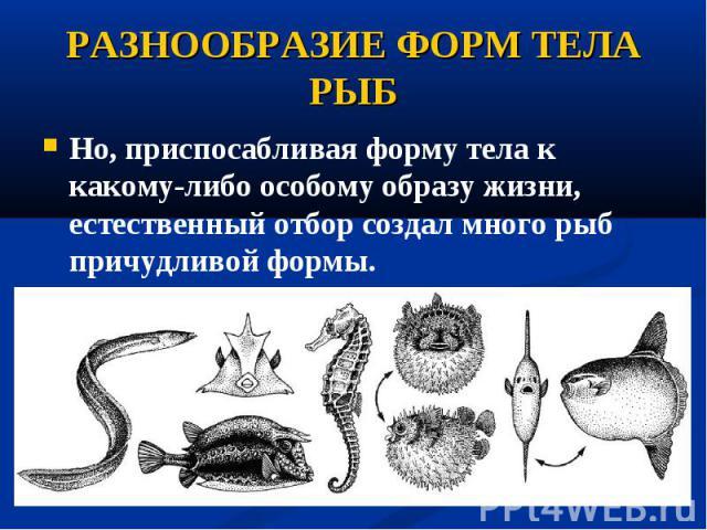 Но, приспосабливая форму тела к какому-либо особому образу жизни, естественный отбор создал много рыб причудливой формы. Но, приспосабливая форму тела к какому-либо особому образу жизни, естественный отбор создал много рыб причудливой формы.