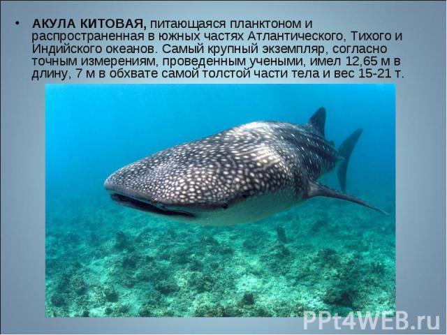 АКУЛА КИТОВАЯ, питающаяся планктоном и распространенная в южных частях Атлантического, Тихого и Индийского океанов. Самый крупный экземпляр, согласно точным измерениям, проведенным учеными, имел 12,65 м в длину, 7 м в обхвате самой толстой части тел…