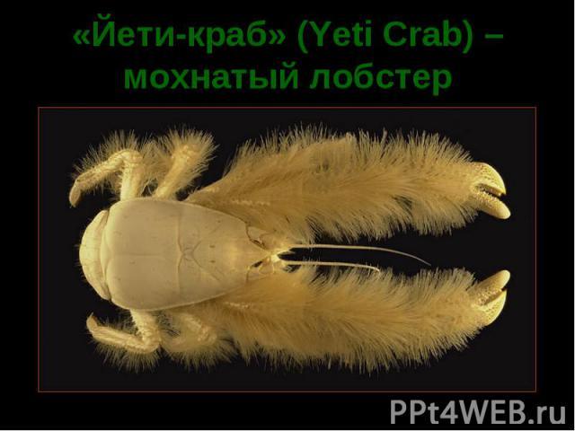 «Йети-краб» (Yeti Crab) – мохнатый лобстер