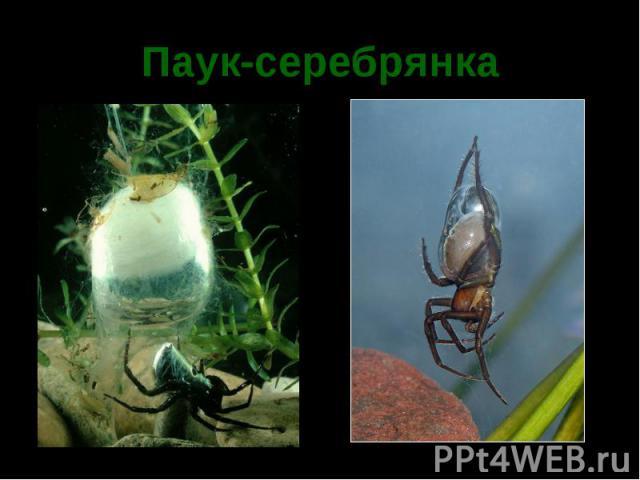 Паук-серебрянка