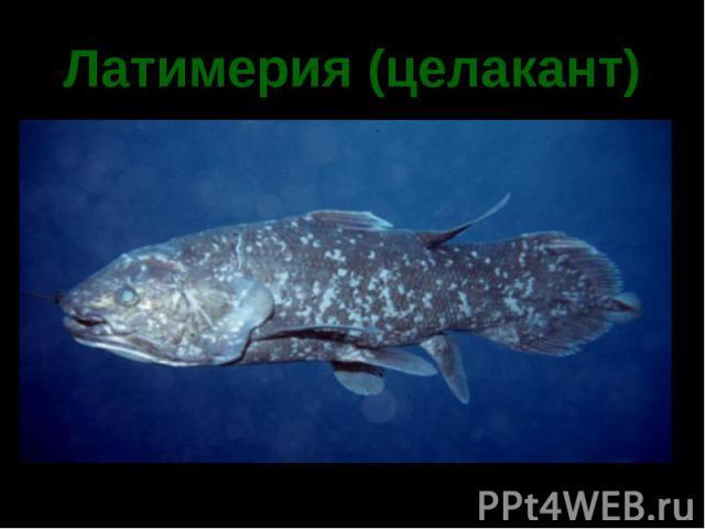 Латимерия (целакант)