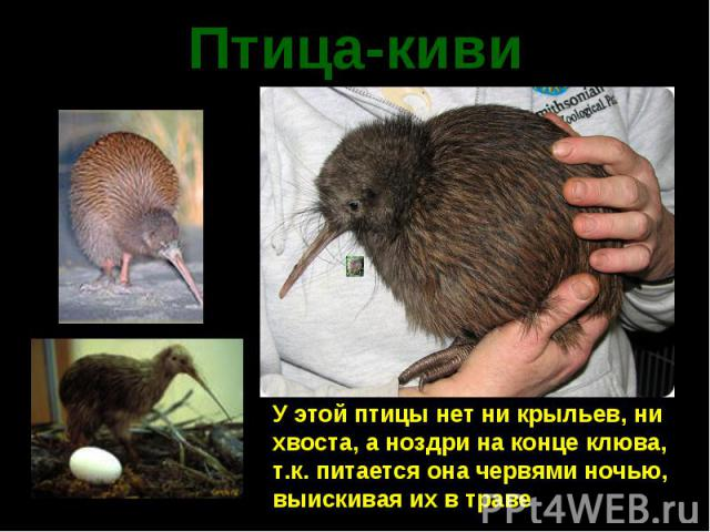 Птица-киви