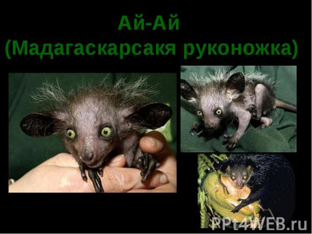 Ай-Ай (Мадагаскарсакя руконожка)