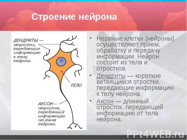 Нервные клетки (нейроны) осуществляют прием, обработку и передачу информации. Нейрон состоит из тела и отростков. Нервные клетки (нейроны) осуществляют прием, обработку и передачу информации. Нейрон состоит из тела и отростков. Дендриты — короткие в…
