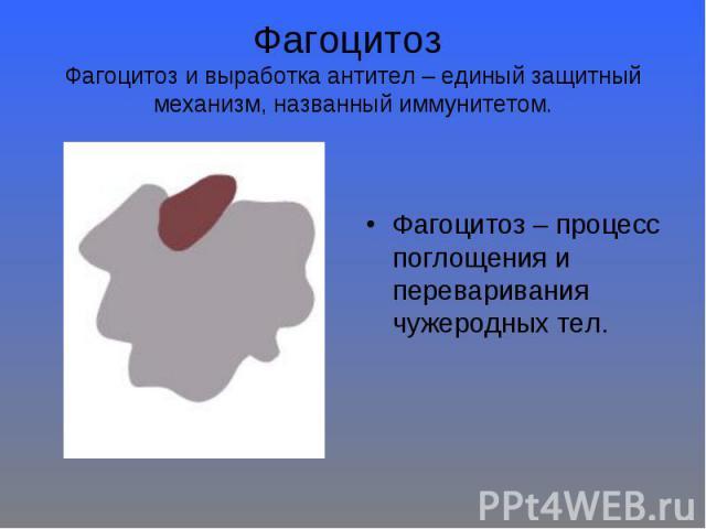 Фагоцитоз Фагоцитоз и выработка антител – единый защитный механизм, названный иммунитетом. Фагоцитоз – процесс поглощения и переваривания чужеродных тел.