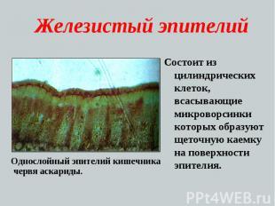 Железистый эпителий Состоит из цилиндрических клеток, всасывающие микроворсинки