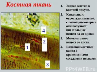 Костная ткань Живая клетка в костной лакуне. Канальцы с отростками клеток, с пом