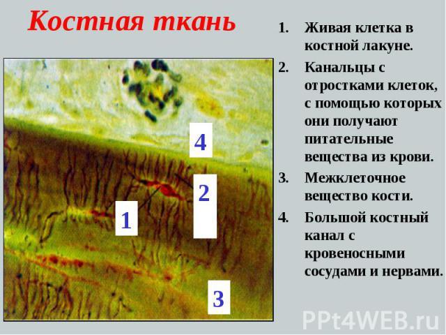 Костная ткань Живая клетка в костной лакуне. Канальцы с отростками клеток, с помощью которых они получают питательные вещества из крови. Межклеточное вещество кости. Большой костный канал с кровеносными сосудами и нервами.