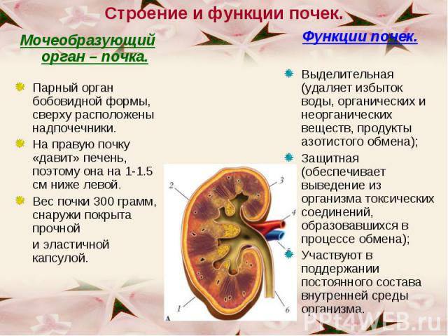 Мочеобразующий орган – почка. Мочеобразующий орган – почка. Парный орган бобовидной формы, сверху расположены надпочечники. На правую почку «давит» печень, поэтому она на 1-1.5 см ниже левой. Вес почки 300 грамм, снаружи покрыта прочной и эластичной…