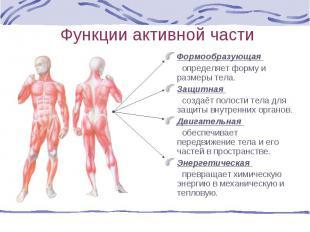 Формообразующая Формообразующая определяет форму и размеры тела. Защитная создаё
