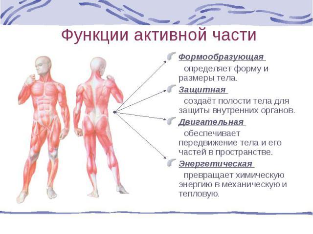 Формообразующая Формообразующая определяет форму и размеры тела. Защитная создаёт полости тела для защиты внутренних органов. Двигательная обеспечивает передвижение тела и его частей в пространстве. Энергетическая превращает химическую энергию в мех…